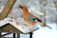 Jay, der Muttern von einer Vogelzufuhr stiehlt. Lizenzfreie Stockfotos