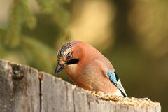 Jay eating at garden bird feeder Royalty Free Stock Images