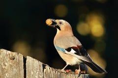Jay eating nut Stock Image