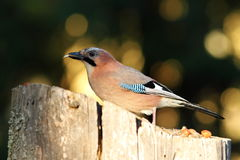 Jay eating seed at birdfeeder Royalty Free Stock Photo