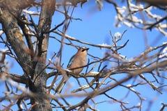 Jay en el árbol Foto de archivo libre de regalías