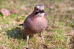 Jay eurasien Photo stock