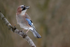 Jay eurasien Photographie stock