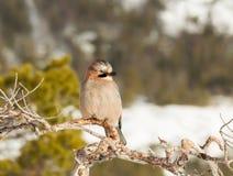 Jay euroasiatico che si appollaia su un ramo di albero nell'inverno fotografia stock