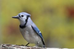 Jay in Fall Royalty Free Stock Images