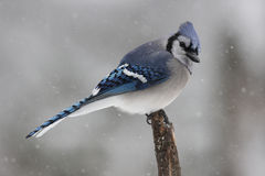 Jay in Falling Snow. A blue jay (Cyanocitta cristata) perching on a branch in a wiinter snowstorm