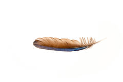 Jay Feather bleu Photographie stock