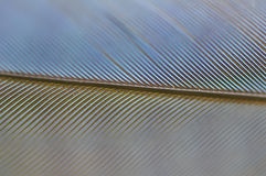 Jay Feather Detail di Steller Fotografia Stock Libera da Diritti