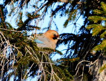 Jay on a fir-tree. The jay sits on a green fir-tree Royalty Free Stock Image