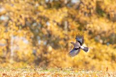 Jay in flight. In beautiful Autumn morning light with yellow leaves in the background. Photographed in Hainault forest country park in England stock photography