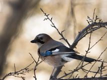 Jay in forest Royalty Free Stock Photos