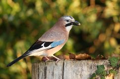 Jay garrulus glandarius Stock Photos