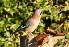 Jay garrulus glandarius Stock Photo
