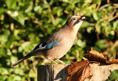 Jay garrulus glandarius Stock Photography