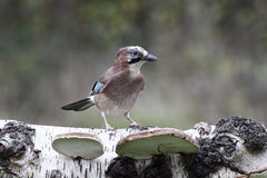 Jay, Garrulus Glandarius Photos stock
