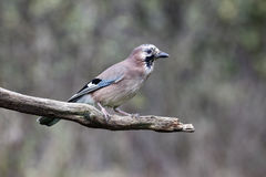 Jay, Garrulus Glandarius Photo libre de droits