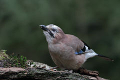 Jay ( Garrulus glandarius ) bird Stock Photography