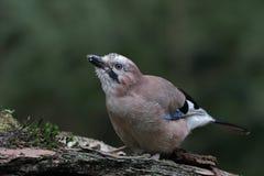 Jay ( Garrulus glandarius ) bird Stock Photography