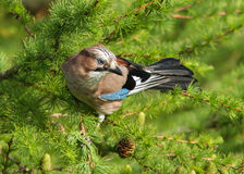 Jay (Garrulus glandarius) Royalty Free Stock Photography