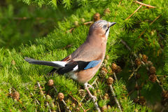 Jay (Garrulus glandarius) Royalty Free Stock Photos