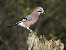 Jay, Garrulus glandarius royalty free stock photos