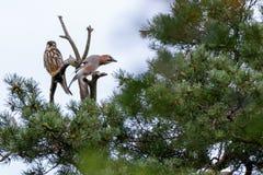 Jay Garrulus glandarius. Northern Hobby Falco subbuteo. Jay Garrulus glandarius in the nature. Northern Hobby Falco subbuteo Royalty Free Stock Photos