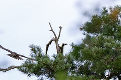 Jay Garrulus glandarius. Northern Hobby Falco subbuteo. Jay Garrulus glandarius in the nature. Northern Hobby Falco subbuteo Royalty Free Stock Photo