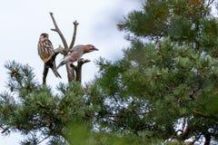 Jay Garrulus glandarius. Northern Hobby Falco subbuteo. Jay Garrulus glandarius in the nature. Northern Hobby Falco subbuteo Royalty Free Stock Images