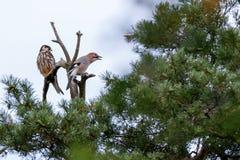 Jay Garrulus glandarius. Northern Hobby Falco subbuteo. Jay Garrulus glandarius in the nature. Northern Hobby Falco subbuteo Stock Images