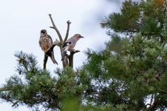 Jay Garrulus glandarius. Northern Hobby Falco subbuteo. Jay Garrulus glandarius in the nature. Northern Hobby Falco subbuteo Stock Image