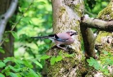 Jay Garrulus-glandarius op een boomboomstam Stock Foto