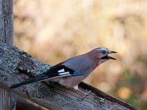 Jay (Garrulus glandarius) screaming Stock Photography