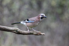 Jay, Garrulus glandarius Stock Photography