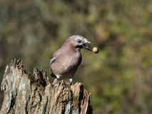 Jay, Garrulus glandarius royalty free stock photography