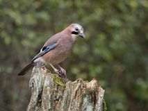 Jay, Garrulus glandarius stock photos