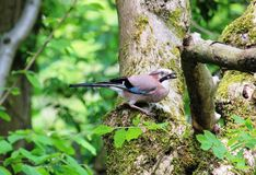 Jay Garrulus glandarius on a tree trunk Stock Photo