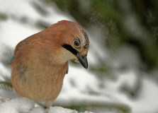 Jay( Garrulus glandarius) in winter. Poland in winter.Jay sitting on the snowy branch and looking for food Stock Images