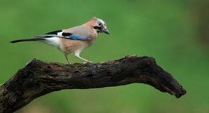 Jay (glandarius do Garrulus) Foto de Stock