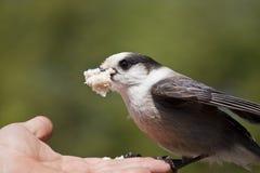 Jay gris (canadensis del Perisoreus) que introduce desde la mano Imagen de archivo libre de regalías