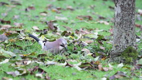 Jay on Ground Royalty Free Stock Photo