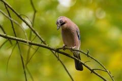 Jay Guardian della foresta Fotografia Stock Libera da Diritti