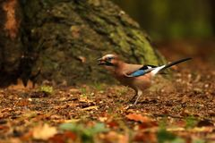 Jay having nuts in beak in forest - Garrulus glandarius. Eurasian jay with nut in beak - Garrulus glandarius Royalty Free Stock Image