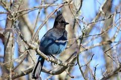 Jay Hiding en un árbol desnudo, Canadá de Steller imagen de archivo
