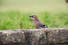Jay im Garten Lizenzfreie Stockfotos
