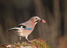 Jay with meat. Eurasian jay with piece of meat stolen from a carcass Royalty Free Stock Photo