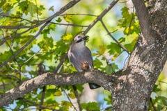 Jay mit einer Nuss auf einem Baum im Wald Lizenzfreie Stockfotos
