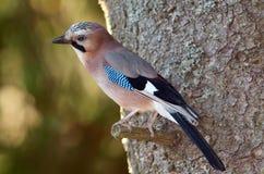 Jay in natural habitat (Garrulus Glandarius) Royalty Free Stock Photography