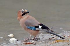 Jay in natural habitat (Garrulus Glandarius) Royalty Free Stock Images