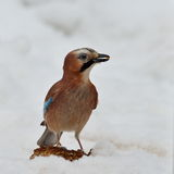 Jay in natural habitat (Garrulus Glandarius) Stock Photography