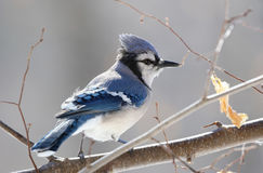 Jay in nature Royalty Free Stock Photography